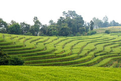 Green Terraced Rice Field at Ban Pa Bong Peay in Chiangmai Royalty Free Stock Images