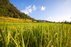 Green Terraced Rice Field at Ban Pa Bong Peay in Chiangmai Royalty Free Stock Photos