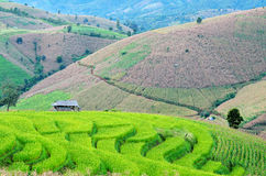 Green Terraced Rice Field. Beautiful rice paddy field in Thailand Stock Images
