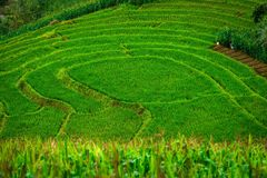 Green Terraced Rice Field at Bong Piang forest in Mae Chaem, Chiang Mai, Thailand. Beautiful view of green Terraced Rice Field at Bong Piang forest in Mae Chaem stock photos