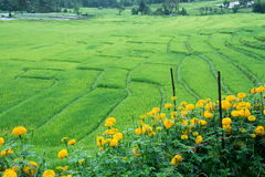 Green Terraced Rice Field in Chiangmai, Thailand. With flowers Stock Photos