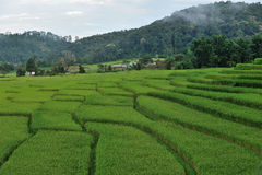 Green Terraced Rice Field Stock Photography