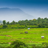 Green Terraced Rice Field Royalty Free Stock Image