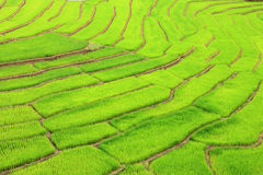 Green Terraced Rice Field. In Chiangmai, Thailand Royalty Free Stock Photography
