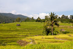 Green Terraced Rice Field in Chiangmai, Thailand Royalty Free Stock Image