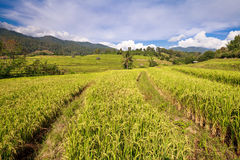Green Terraced Rice Field in Chiangmai, Thailand Stock Images