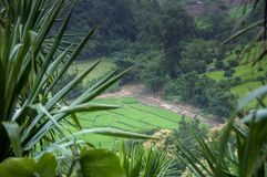 Green Terraced Rice Field in Chiangmai, Thailand Stock Image