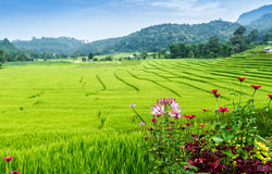 Green terraced rice field Stock Photos