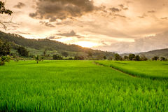 Green Terraced Rice Royalty Free Stock Image