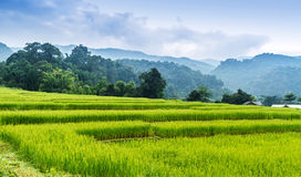 Green terraced rice field Royalty Free Stock Images