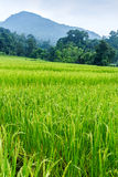 Green terraced rice field Royalty Free Stock Photos