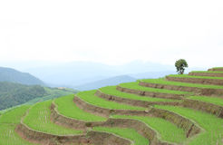 Green Terraced Rice Field at Pa Bong Piang village, Chiangmai, Thailand. Royalty Free Stock Photo