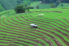 Green Terraced Rice Field at Pa Bong Piang village, Chiangmai, Thailand. Royalty Free Stock Photos