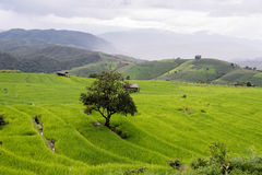 Green Terraced Rice Field in Pa bong Pieng , Royalty Free Stock Images