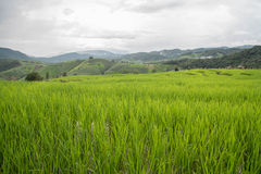 Green Terraced Rice Field in Pa bong Pieng , Chiang Mai province Stock Images