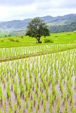 Green Terraced Rice Field in Pa Pong Pieng , Mae Chaem, Chiang Mai royalty free stock photos