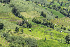 Green Terraced Rice Field. In Pa Pong Pieng , Mae Chaem, Chiang Mai, Thailand Royalty Free Stock Image