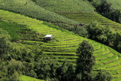 Green Terraced Rice Field. In Pa Pong Pieng , Mae Chaem, Chiang Mai, Thailand Stock Image