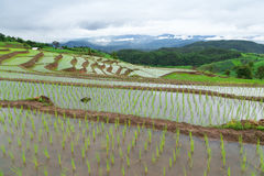 Green Terraced Rice Field Royalty Free Stock Photography