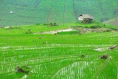 Green Terraced Rice Field in Pa Pong Pieng Royalty Free Stock Photos