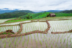 Green Terraced Rice Field in Pa Pong Pieng Stock Image
