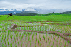 Green Terraced Rice Field in Pa Pong Pieng Royalty Free Stock Photography