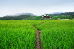 Green Terraced Rice Field in Pa Pong Pieng Stock Photography