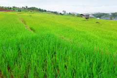 Green Terraced Rice Field in Pa Pong Pieng Stock Images