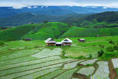 Green Terraced Rice Field in Pa Pong Pieng Royalty Free Stock Photo