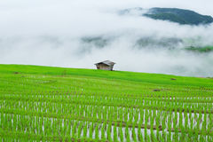 Green Terraced Rice Field in Pa Pong Pieng Royalty Free Stock Image