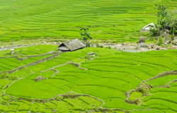 Green Terraced Rice Field in Sapa, Lao Cai, Northwest Viet Nam. In foggy day Royalty Free Stock Photography