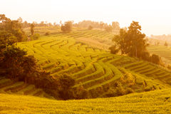 Green Terraced Rice Field during sunset at Ban Pa Bong Peay in C Stock Image