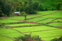 Green Terraced Rice Field, Thailand. Green Terraced Rice Field, house background, Thailand Stock Photos