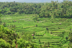 Green terraced rice fields Stock Photos