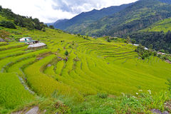 Green terraced rice fields Royalty Free Stock Images