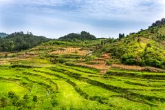 Green terraced rice fields in Zhangjiajie National Forest Park. Zhangjiajie, Hunan, China. Green terraced agricultural rice fields in Zhangjiajie National Forest stock photos