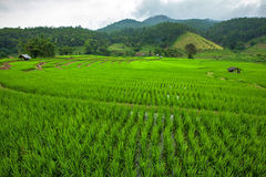Green terraced riced field Royalty Free Stock Photos