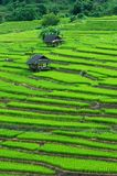 Green terrasserat Ricefält arkivbilder