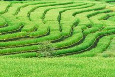 Green terrasserat Ricefält arkivbild