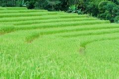 Green terrasserat Ricefält royaltyfri foto