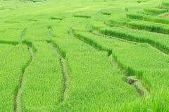 Green terrasserat Ricefält royaltyfri fotografi