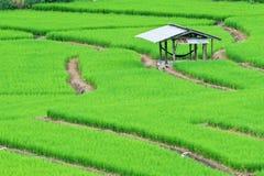 Green terrasserat Ricefält royaltyfri bild