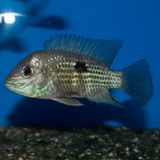 Green Terror Cichlid stock image