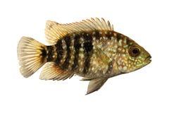 Green Texas cichlid Herichthys cyanoguttatus aquarium fish