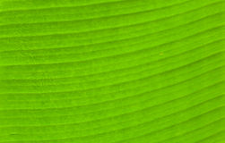 Green textued and line of banana leaf Stock Photos