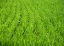 Green texture. A rice field texture Stock Photo