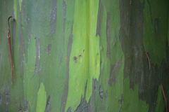 Green texture. Texture of a eucaliptus tree Royalty Free Stock Photos