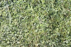 Green texture. Detail of a green grass lawn Stock Images