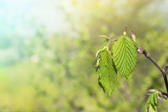 Green Texture leaves on a branch Spring Stock Images