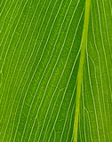 Green texture of palm leaf Royalty Free Stock Photos